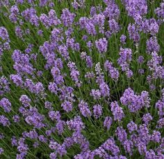 The Lavender-Munstead Herb plant is great to plant along walkways or under your windows because of its inviting fragrance.