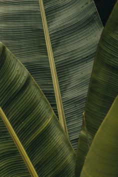 Order photo wallpaper Leaf, banana leaf and plant for wall from biggest catalog for the best price in Europe. Image no. The assortment includes colorful photo wallpapers by the artists. Leaf Photography, Close Up Photography, Interior Photography, Architectural Photography, Iphone 6 Wallpaper, Wallpaper Backgrounds, Computer Backgrounds, Iphone Pics, Black Wallpaper