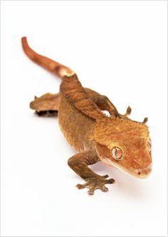 Crested Gecko looks like my Kumar :) <3