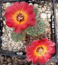 Sulcorebutia tarabucoensis var callecallensis VZ196 34