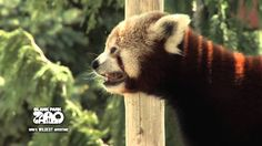 Red Pandas in the sun! We're ready for summer!