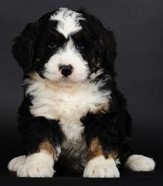 BERNIEDOODLE. Bernese mountain dog/poodle. AHH.