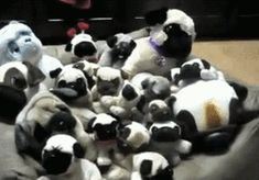 The Great Pug Hideout of 2006   35 Most Adorable Moments In Pug History