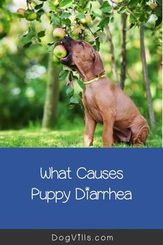 What puppy food is best for diarrhea?That question is far more common than you might think, especially considering the fact that puppies have sensitive tummies! Best Dog Food, Best Dogs, What Causes Diarrhea, Puppy Food, Dog Food Recipes, Puppies, This Or That Questions, Cubs, Puppys