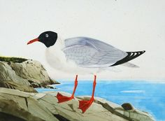 """Laughing Gull, Monhegan, 2008. Watercolor and gouache on paper, 22"""" x 30"""""""