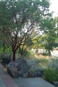 Dr. Hurd Manzanita  Arctostaphylos manzanita 'Dr. Hurd'     USDA zones: 6-10  Water requirement: Drought tolerant  Light requirement: Full Sun  Mature size: 15 ft  Environmental benefits: Beautiful red bark and evergreen foliage  Native range: California