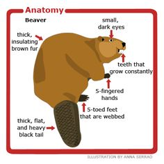 Anatomy of a beaver Beaver Facts, Beaver Dam, Canadian Animals, Canadian Wildlife, Canada For Kids, Canada 150, Beaver Scouts, Animaux