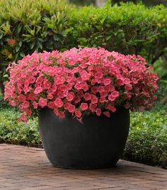 Petunia 'Shock Wave Coral Crush'. I have these for this year and large brown planters...