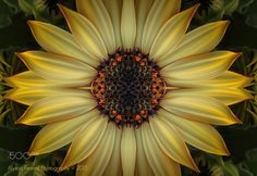 Golden Cape Daisy Sun - Mirror image of a golden cape daisy shot in natural light.