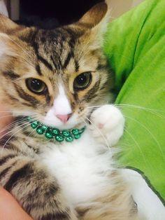 Cat Tricks -- For more information, visit image link. #CatsBreed