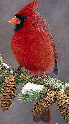 Birds - Cardinal