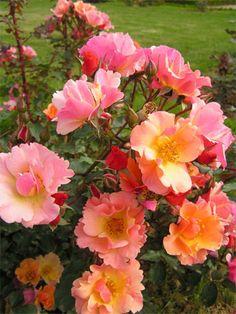 Jazz Rose bred by Tatau