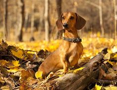 This beautiful #Dachshund loves the outdoors...Click here to see this beauty>>> http://www.fundogpics.com/dachshund-pics.html