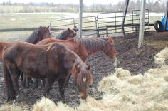 Hay is put down to coax the horses off the manure (Harrisburg Humane Society, WHP-TV)