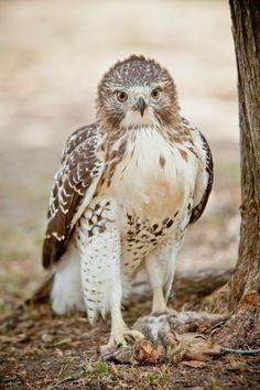 Beautiful hawk <3