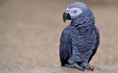 پرنده طوطی کاکاتو سیاه black cockatoo birds