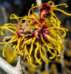 What is Witch Hazel? Witch hazel is a plant used for skin care and beauty treatments. You can find witch hazel in many stores. Learn what's witch hazel here What Is Witch Hazel, Witch Hazel Uses, Witch Hazel For Skin, Home Remedies For Skin, Natural Home Remedies, Herbal Remedies, Varicose Vein Remedy, Varicose Veins, Ingrown Hair Remedies