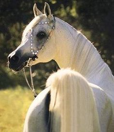 Imperial Madheen (Messaoud x Madinah by Ibn Galal) 1984 grey SE stallion bred by Prof. Siegfried Paufler, Germany