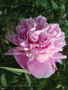 строение пиона Crepe Paper, Sugar Flowers, Polymer Clay, Rose, Plants, Flowers, Pink, Roses, Flora