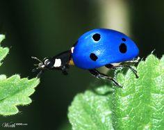 Huhu ..., ob es das kleine blaue Marienkäferchen schaffen wird auf das andere Blatt?