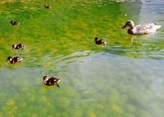 PhotoFriday :: Family | Duck Family on Gulbenkian Foundation, Lisbon :: Portugal (29.03.2015)