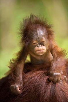 """Baby Orangutan - """"No mom! You don't get it! I want SPARKLY SHOES!"""""""