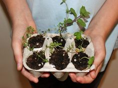 HOW TO: Grow an Herb Garden in Eggshell Planters