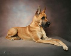 """See our website for even more info on """"great dane dog"""". It is actually a great place to learn more. Great Dane Fawn, Great Dane Puppy, Weimaraner, Doberman, Baby Dogs, Pet Dogs, Doggies, Weiner Dogs, Dane Puppies"""