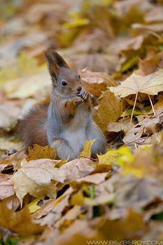 Autumn Squirrel. Look how precious!! <3