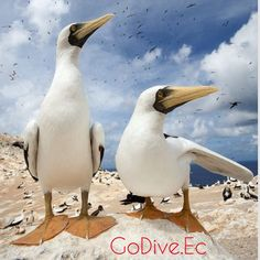 Masked Boodys at #Galapagos #ecuador #allyouneedisecuador #instatravel #naturelovers #ecotourism #explorers #instatrip #instagood #ecoturismo #paradise #sealife #blue #fun #scubanation #snorkeling #marinelife #sand #dive #backpacking #gopro #godive #godiveec #goprohero3