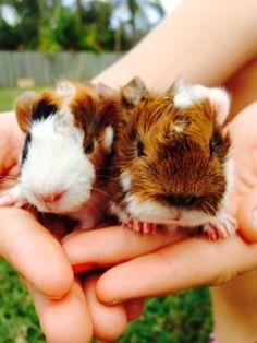Baby guinea pigs.....