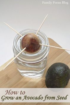 How to Grow an Avocado from Seed - Family Focus Blog - Grow an Avocado Tree from Seed Instructions - How to Start an Avocado Seedling in Water