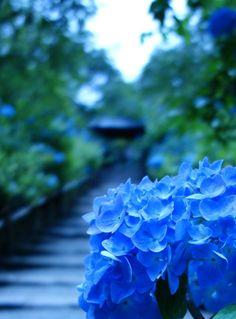 Meigetsuin, Kamakura, Japan -- Blue Hydrangea, #Kamakura