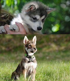 Tamaskan Dog puppy