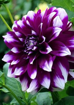 "DEUIL DU ROI ALBERT Dahlia - ""Dwee doo"" is easy to grow and loaded with inch flowers of royal purple tipped with white Exotic Flowers, Amazing Flowers, Beautiful Flowers, Purple Dahlia, Purple Flowers, Dahlia Flowers, Cactus Flower, Yellow Roses, Gerbera"