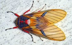 Tiger moth, Idalus sp., Arctiinae, via Flickr.