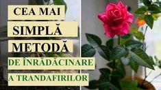 Trandafirul este o plantă uimitor de frumoasă! E mare păcat când minunații și neobișnuiții trandafiri din buchet încep să se ofilească și să-și piardă petalele după câteva zile petrecute în casă. Nu vă grăbiți să vă întristați, deoarece absolut orice trandafir din buchet poate fi înrădăcinat în grădina dumneavoastră. Mai mult decât atât, acest lucru se face destul de ușor, principalul este să respectați câteva reguli simple. Pentru înrădăcinare, aveți nevoie doar de partea de mijloc a… Plant