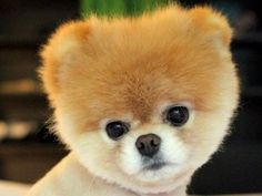 Boo: Der Facebook-Star gilt als süßester Hund der Welt – Foto: 2012 Facebook - Boo    www.einfachtierisch.de