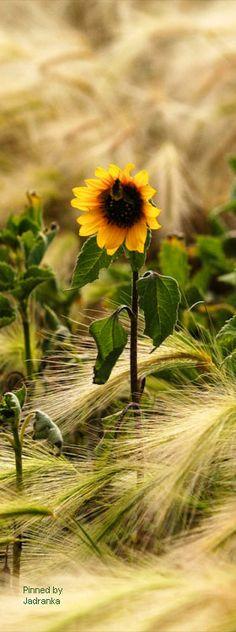 ~Sunflower•Sensation~(Ana Rosa)