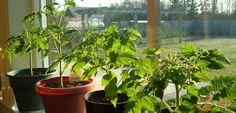 Kuidas kodus lopsakaid tomatitaimi kasvatada - Maakodu.ee