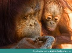 Orangutan kissing her baby's injured finger.