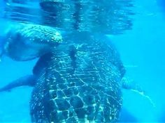 - Take a look (and listen) to a mother and calf singing together in this underwater video captured off Fraser Island off Queensland Australia Swimming With Whale Sharks, Underwater Video, Whale Watching Tours, Fraser Island, Life Aquatic, Deep Blue Sea, Beach Stuff, Video Capture, Beaches In The World
