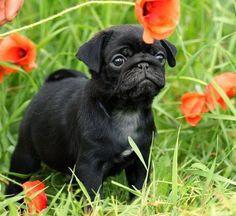Cute Black Pug Puppy gonna have one one day!