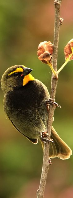 Yellow-faced Grassquit, tanager family: Central America & surrounding areas