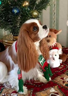Everything I respect about the Cute Cavalier King Charles Spaniel Pups Puppies And Kitties, Cute Puppies, Cute Dogs, Doggies, Bulldog Puppies, Cavalier King Charles Spaniel, King Charles Puppy, Spaniel Puppies, Dressage