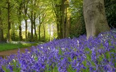 A glade of spring bluebells