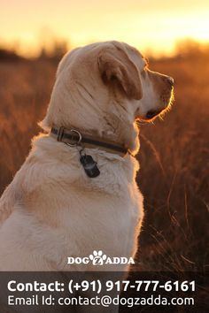 Mind Blowing Facts About Labrador Retrievers And Ideas. Amazing Facts About Labrador Retrievers And Ideas. Perro Labrador Retriever, Retriever Puppy, Labrador Dogs, Labrador Facts, Big Dogs, Cute Dogs, Dogs And Puppies, Doggies, Small Dogs