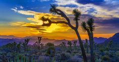 • Joshua Tree covers 800,000 acres in both the Colorado and Mojave Deserts. • The federal government recently recognized the land around Joshua Tree -- 1.8 million acres of desert -- as official national park land.