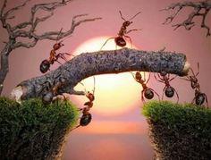 Strength in numbers. Ants building bridges