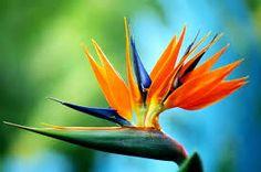 Image result for birds of paradise flower